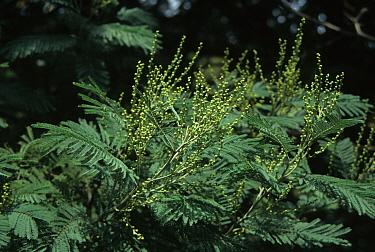 Acacia dealbata Juvenile flowers  -  Keith Rushforth/ FLPA