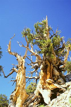 Rocky Mountains Bristlecone Pine (Pinus aristata) habit, California  -  S & D & K Maslowski/ FLPA