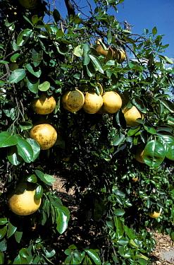 Grapefruit (Citrus paradisi) Grapefruit cultivation, Florida, USA  -  Tony Hamblin/ FLPA
