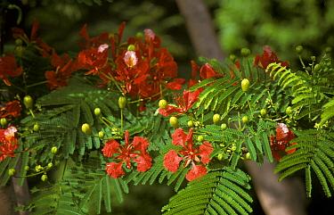 Flamboyant Tree (Delonix regia) Flowers and foliage, Nhatrang, Vietnam  -  Keith Rushforth/ FLPA