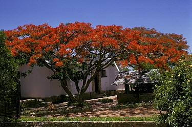 Flamboyant Tree (Delonix regia) Close-up of trees in flower  -  David Hosking/ FLPA