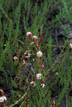 Clover Dodder (Cuscuta epithymum) plant with flowers  -  Ian Rose/ FLPA