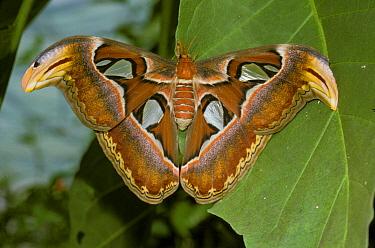 Atlas Moth (Attacus atlas) On leaf CYM FL  -  Catherine Mullen/ FLPA