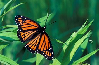 Viceroy Butterfly (Limenitis archippus) Close-up, Michigan, June  -  Larry West/ FLPA
