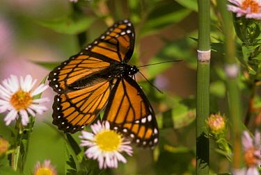 Viceroy Butterfly (Limenitis archippus) Close-up  -  Larry West/ FLPA