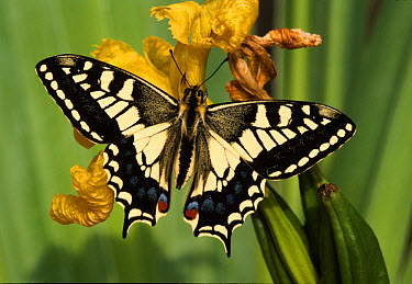 Oldworld Swallowtail (Papilio machaon) wings open, on yellow flower  -  Roger Wilmshurst/ FLPA
