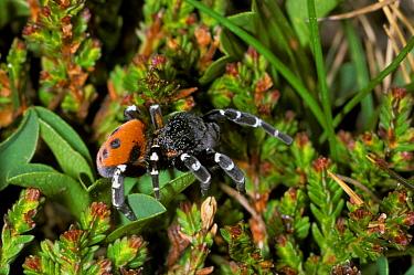 Ladybird Spider (Eresus niger) male on flowers  -  B. Borrell Casals/ FLPA