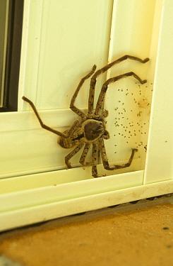 Brown Huntsman Spider (Heteropoda jugulans) on door frame, SE Queensland, Australia  -  Neil Bowman/ FLPA