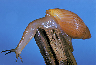 Snail, Cannibal Pink (Euglandia rosea) Close-up  -  Treat Davidson/ FLPA