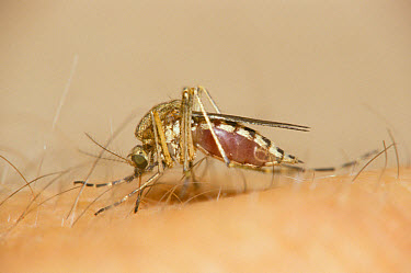 Mosquito (Culex pipiens) biting Human skin, Michigan  -  Larry West/ FLPA