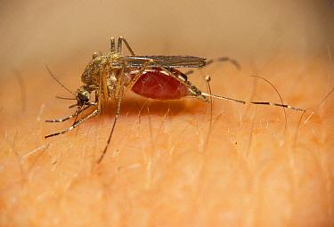 Mosquito (Culex pipiens), on skin, Michigan  -  Larry West/ FLPA
