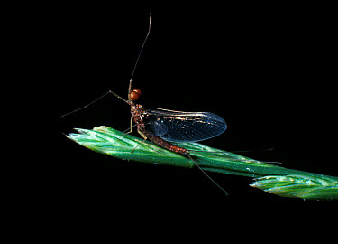 Mayfly (Ephemerella ignita) Male, on grass stem  -  Jonathan Scott/ FLPA