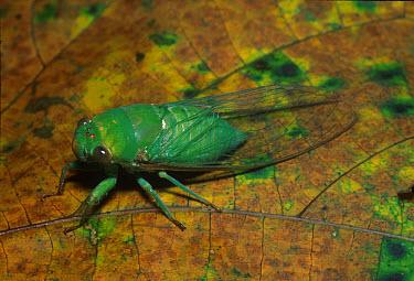 Emerald Cicada (Cicadoidea), Perak, West Malaysia  -  Chris Mattison/ FLPA