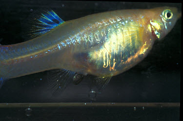 Guppy Fish (Poecilia reticulata) Giving birth in trap  -  Linda Lewis/ FLPA