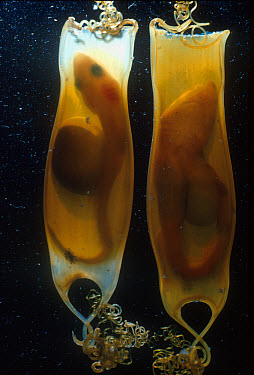 Lesser Spotted Dog- fish (Scyliorhinus canicula) Egg cases with late embryo FL  -  D.P. Wilson/ FLPA