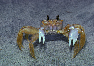 Ghost Crab (Ocypode albicans) On sand  -  Larry West/ FLPA