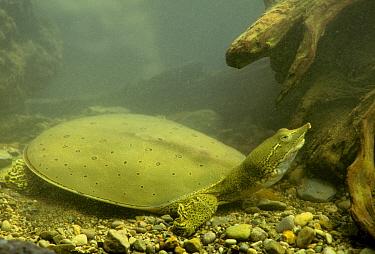 Eastern Spiny Soft-shelled Turtle (Apalone spinifera) adult, underwater on stream bed, Ohio  -  S & D & K Maslowski/ FLPA