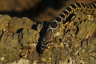 Horseshoe Whip Snake (Coluber hippocrepis) Climbing over bark  -  Hans Dieter Brandl/ FLPA