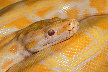 Indian Python (Burmese) (Python molurus) Close-up Note-Albino  -  Chris Mattison/ FLPA