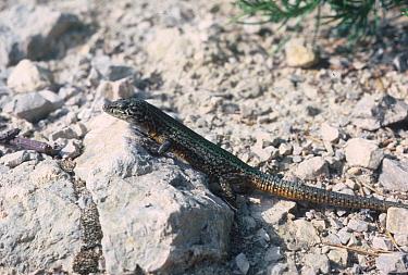 Lilford's Wall Lizard (Podarcis lilfordi) On rocks, Ibiza  -  Michael Rose/ FLPA