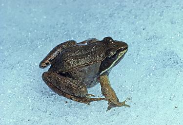 Wood Frog (Rana sylvatica) adult, sitting on snow  -  Larry West/ FLPA