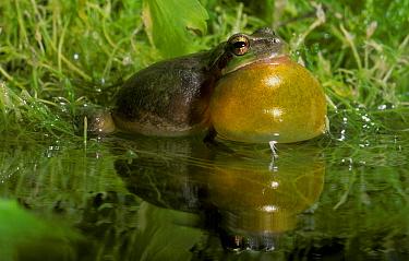 Stripeless Tree Frog (Hyla meridionalis) croaking  -  B. Borrell Casals/ FLPA