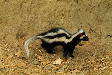Zorilla(I.Striatus) or Striped weasel,S.A.Polecat Standing on sandy soil  -  W T Miller/ FLPA