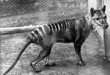 Tasmanian Tiger (Thylacinus cynocephalus) juvenile male, captive, Hobart Zoo, Tasmania, Australia  -  Hugh Clark/ FLPA
