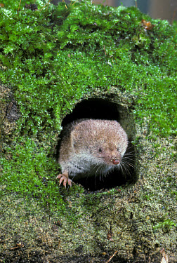 Common Shrew (Sorex araneus) head showing at hole, moss  -  David Hosking/ FLPA