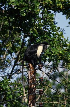 Black & White Colobus Monkey (Colobus polycomos) On electric pole, near Mombasa,Kenya  -  Michael Gore/ FLPA