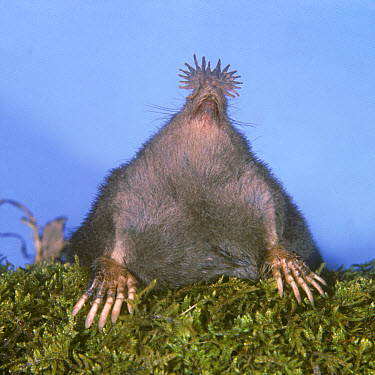 Star-nosed Mole (Condylura cristata) under chin, showing front feet and star-shape nose  -  Lynwood Chace/ FLPA