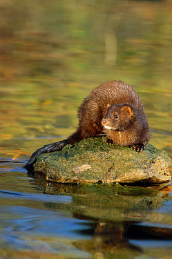 Mink (Mustela vison) adult, standing on rock in stream, Ohio  -  S & D & K Maslowski/ FLPA