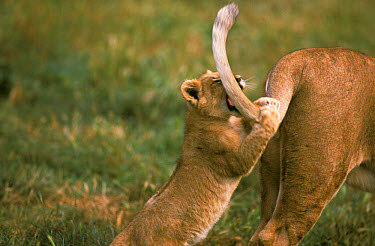 African Lion (Panthera leo) cub playing with adults tail  -  Albert Visage/ FLPA