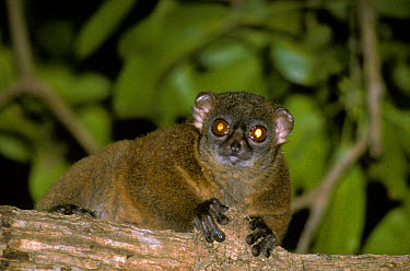 Black-striped Sportive Lemur (Lepilemur dorsalis) close-up, on branch, Madagascar  -  Albert Visage/ FLPA