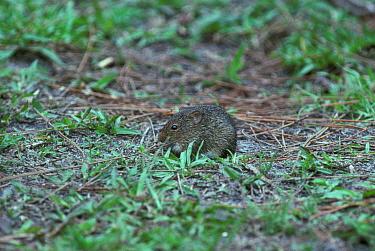 Southern Bog Lemming (Synaptomys cooperi) On ground  -  Tony Hamblin/ FLPA
