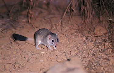 Kowari (Dasyuroides byrnei) standing on ground, mouth open  -  David Hosking/ FLPA