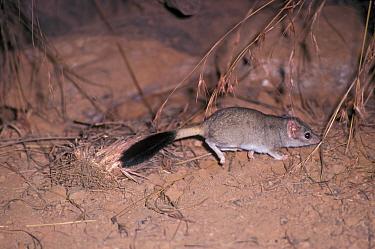 Kowari (Dasyuroides byrnei) walking on ground  -  David Hosking/ FLPA