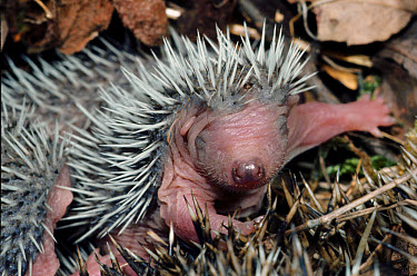 Brown-breasted Hedgehog (Erinaceus europaeus) head of young  -  B. Borrell Casals/ FLPA