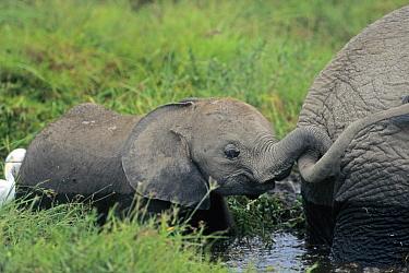 African Elephant (Loxodonta africana) calf holding adults tail, in marshland, Kenya  -  l Lee Rue/ FLPA