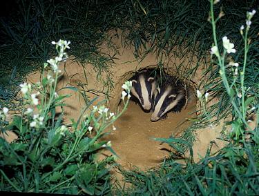 Eurasian Badger (Meles meles) two emerging from sett, near Horsham, Sussex, England  -  Roger Wilmshurst/ FLPA