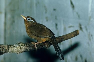 Hwamei (Garrulax canorus)  -  Frank Lane/ FLPA