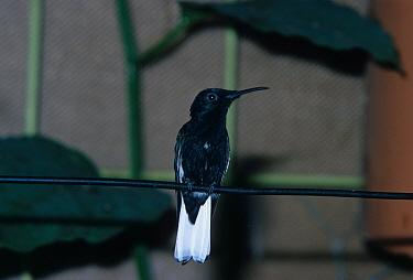 Black Jacobin (Melanotrochilus fuscus), Brazil  -  David Hosking/ FLPA