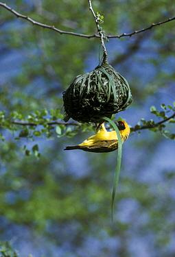 Vitelline Masked Weaver (Ploceus vitellinus) Nest building, Olorgesailie, Kenya  -  John Karmali/ FLPA