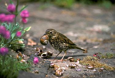 Song Thrush (Turdus philomelos) on ground, breaking open snails at anvil, Sussex, England  -  Roger Wilmshurst/ FLPA