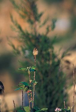Yemen Serin (Serinus menachensis), North Yemen  -  David Hosking/ FLPA