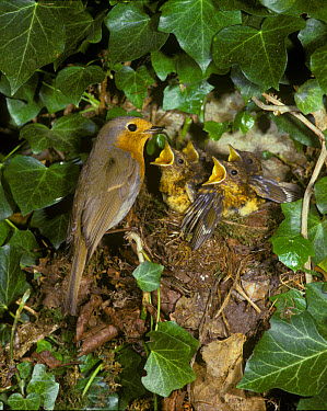 European Robin (Erithacus rubecula) at nest with food in beak, young demanding  -  Roger Wilmshurst/ FLPA