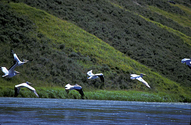 American White Pelican (Pelecanus erythrorhynchos) group in flight over water, Hayden  -  Mark Newman/ FLPA