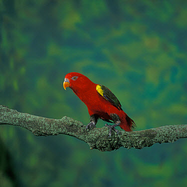 Chattering Lory (Lorius garrulus) Perched HK  -  David Hosking/ FLPA