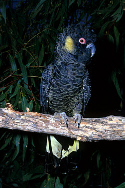 Yellow-tailed Black Cockatoo (Calyptorhynchus funereus) Perched on branch  -  l Lee Rue/ FLPA