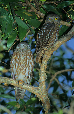 Barking Owl (Ninox connivens) Male and female, Australia  -  Tom and Pam Gardner/ FLPA